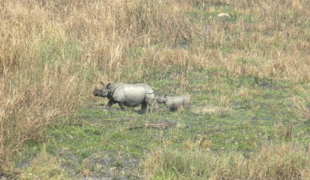 Asian rhino mother with new born calf.