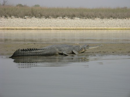 Big gharial on Rapti River sandbank.