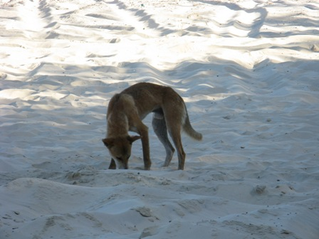 Dingo foraging on Ninety Mile beach.
