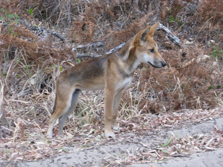 Young dingo near Kingfisher Resort.