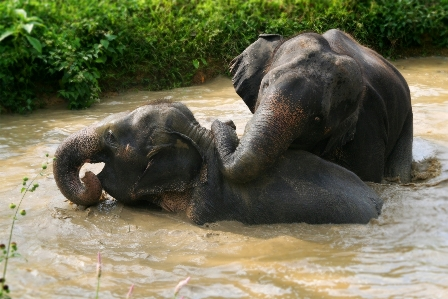 Bathing ellies near Khao Sok National Park.