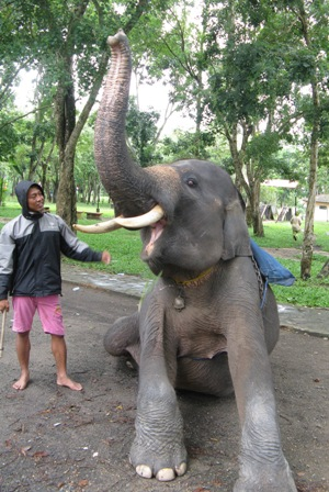 Mahout and elephant getting ready for jungle trek.