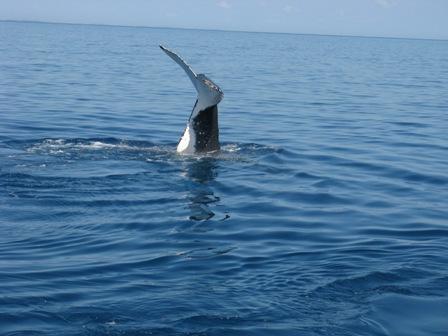 Southern Humpback diving.