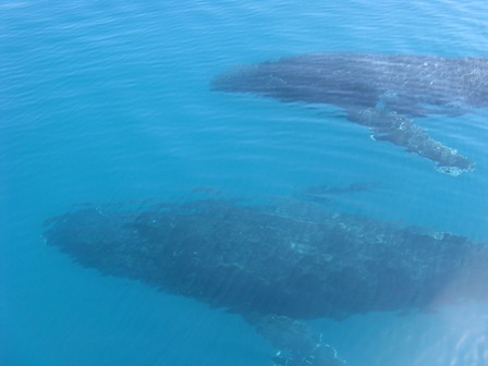 Humpback mother and calf submerged near boat.
