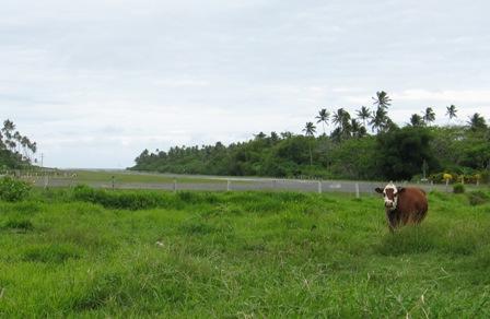 SavuSavu airport landing strip with cow.