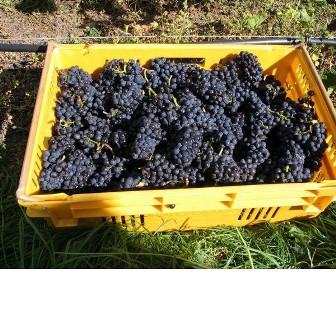 Waipara vintage harvest.