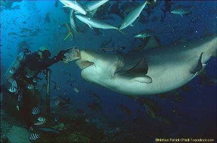 Grandma Bull Shark pays a visit.