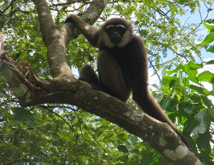 Black handed gibbon at Camp Leakey.
