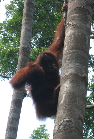 Orangutan in tree at Camp Leakey.