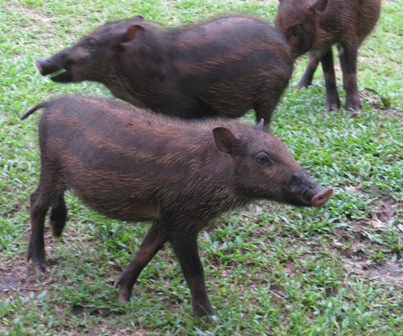 Wild pigs at Camp Leakey.