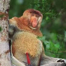 Male Proboscis monkey full frontal.