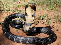 World's largest venomous snake, the King cobra.