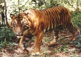 Male Sumatran tiger in the wild.