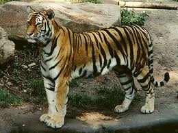 Bengal tiger posing in Chitwan.