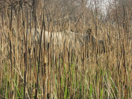 Asian rhino in elephant grass.