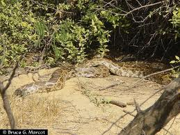 Indian Rock pythons can grow to eight metres.