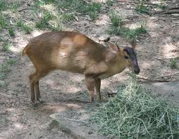 Muntjac deer pauses for breath.