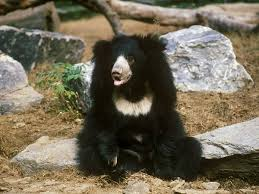 Sloth bear in a more relaxed pose.