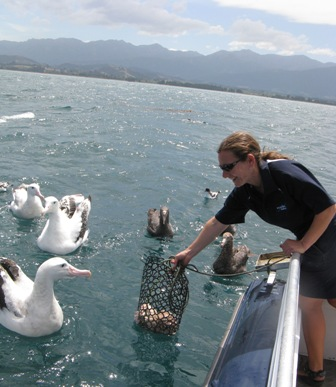 Feeding time during Albatross tour, with Wandering albatross
