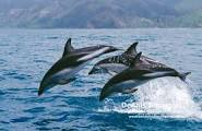 Dusky dolphins leaping