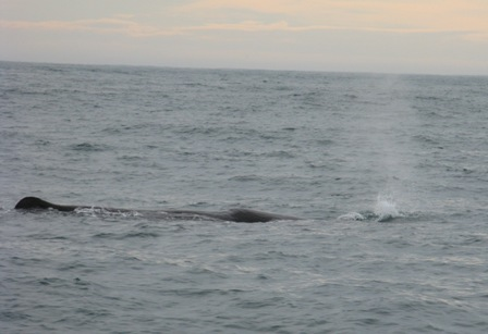 Sperm whale breathing off Kaikoura