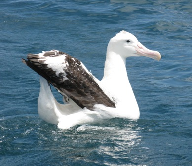 Young Wandering albatross