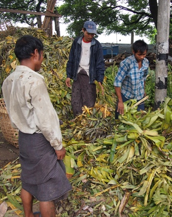 'Longyi' wearing workers preparing bananas for sale