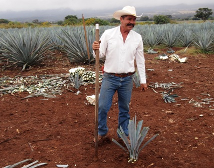 Harvesting blue agave near Tequila town