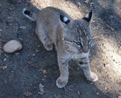 Bobcat kitten at Turtle Bay zoo