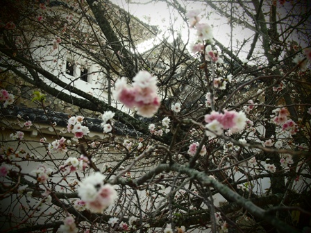 Late flowering sakura at Himechi
