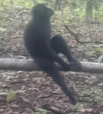 Crested Black Macaque out on a limb