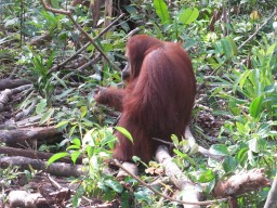 Orangutans and Others